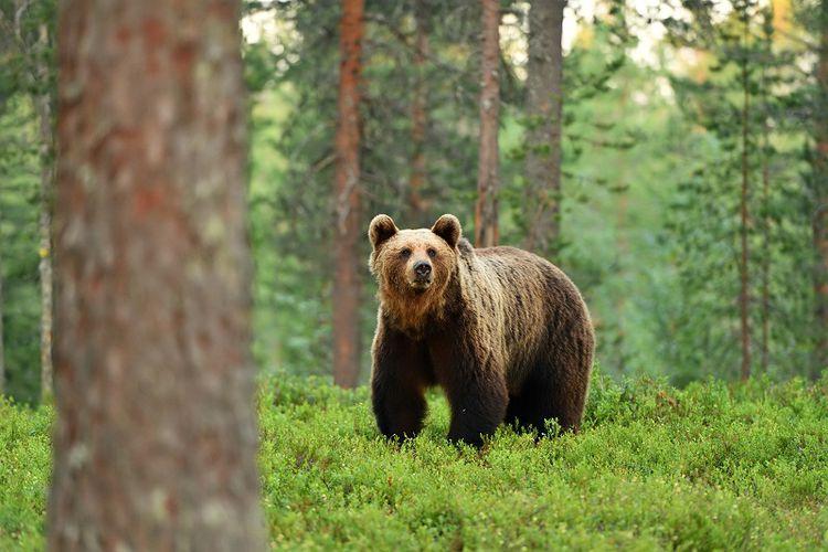 Fakta Unik Tentang Beruang